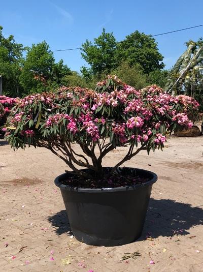 Rhododendron makinoi 'Rosa Perle' Schirmform / Rhododendron 'Rosa Perle' H: 120 cm B: 200 cm (6005)