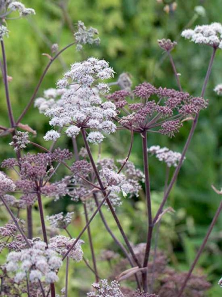 Angelica sylvestris 'Vicar's Mead' / Purpur-Engelwurz