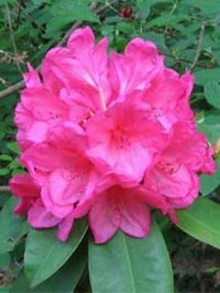 Rhododendron Hybride 'Anna Rose Whitney' / Rhododendron 'Anna Rose Whitney'