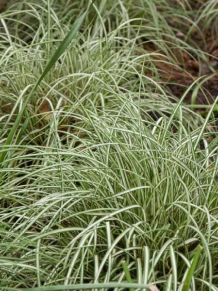 Carex ornithopoda 'Variegata' / Weißbunte Vogelfuß-Segge 'Variegata'