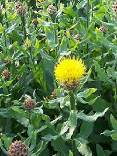 Centaurea macrocephala / Gelbe Riesen-Flockenblume
