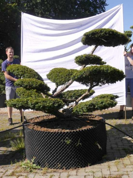 Taxus baccata 'Summergold' H: 140 cm B: 210 cm / Garten-Bonsai (502137)