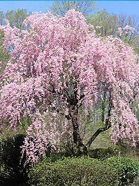 Prunus subhirtella 'Pendula' / Japanische Hänge-Zierkirsche / Winterkirsche