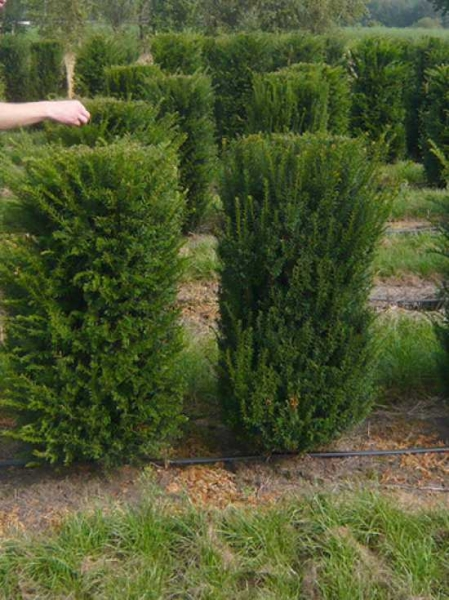 Taxus baccata / heimische Eibe / Fertighecke / Heckenelement 125 cm x 50 cm x 50 cm