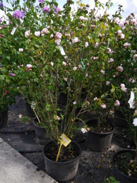 Hibiscus syriacus 'Leopoldii' / Garteneibisch 'Leopoldii'