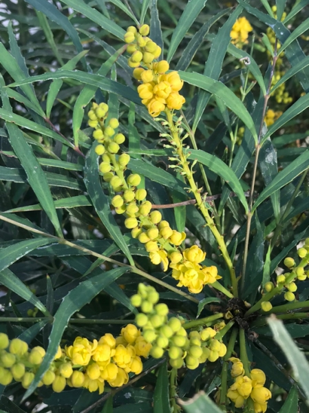 Mahonia eurybracteata 'Soft Caress' / Chinesische Mahonie 'Winter Sun' / Stachellose Mahonie 'Soft Caress'