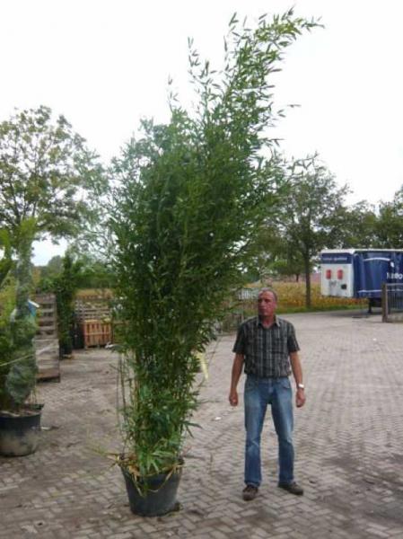 Phyllostachys bissetii / Bisset Bambus 250-300 cm im 70-Liter Container