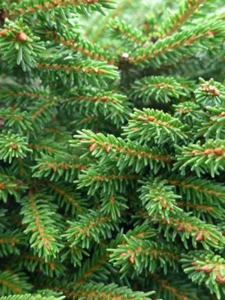 Picea orientalis 'Shadow's Broom' / Zwerg-Kaukasus-Fichte 'Shadow's Broom'