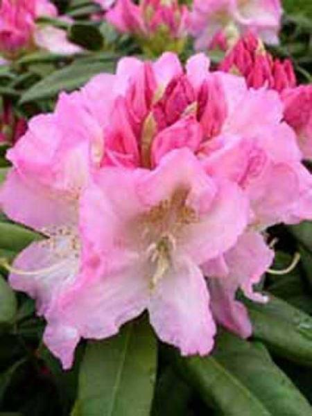 Rhododendron Hybride 'INKARHO Seestadt Bremerhaven' / Rhododendron 'INKARHO Seestadt Bremerhaven'