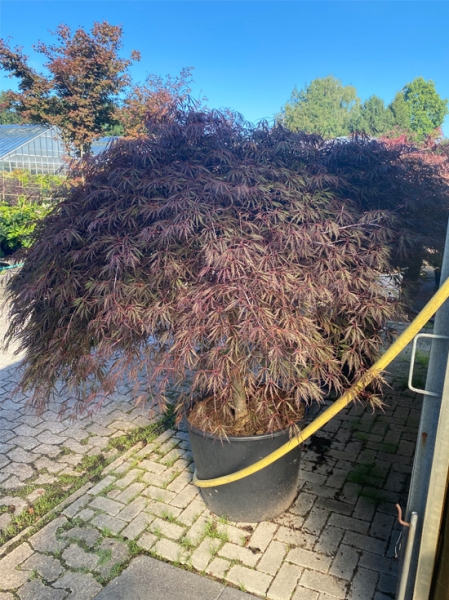 Acer palmatum 'Inaba shidare' / Fächerahorn 'Inaba shidare' / Japanischer Ahorn Kronenbreite 200-225 cm (Nr.287)