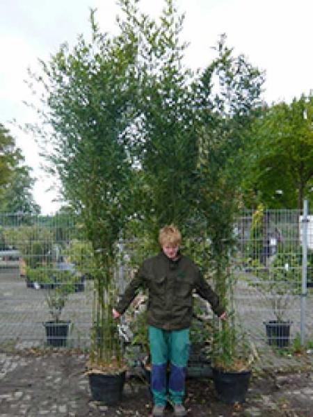 Phyllostachys nigra henonis / Gold Haar Bambus 250-300 cm im 50-Liter Container