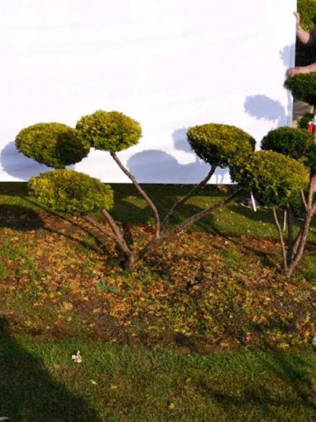 Taxus baccata 'Semperaurea' H: 80 cm B: 130 cm / Garten-Bonsai (0067)