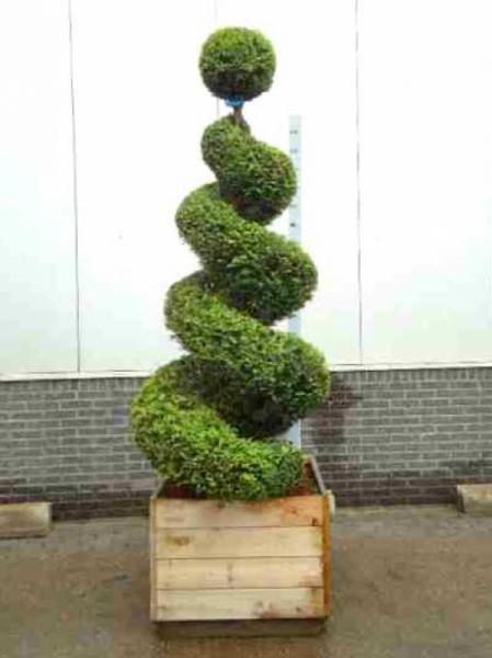 Taxus baccata 'Spirale' 175-200 cm Solitär / heimische Eibe 'Spirale'