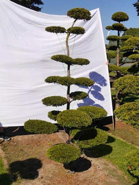Taxus baccata 'Semperaurea' H: 230 cm B: 110 cm / Garten-Bonsai (0143)