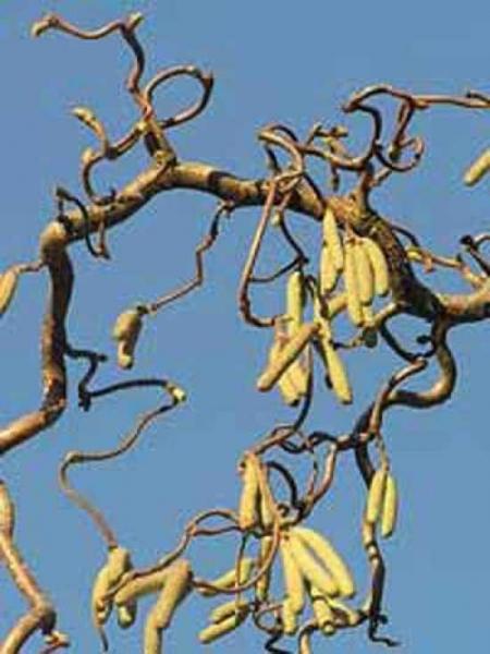 Corylus avellana 'Contorta' / Korkenzieher-Hasel