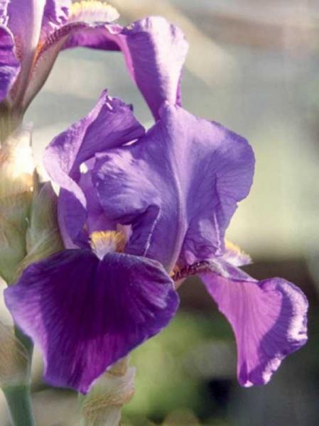 Iris barbata-elatior 'Matinata' / Hohe Bart-Schwertlilie 'Matinata' / Beet-Schwertlilie 'Matinata'