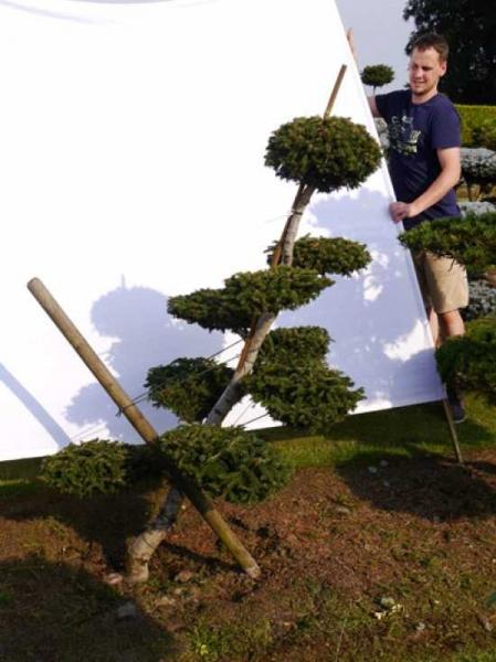 Picea orientalis 'Aurea' H: 150 cm B: 100 cm / Garten-Bonsai (0053)