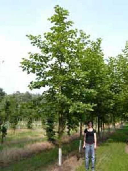 Platanus acerifolia / Ahornblättrige Platane