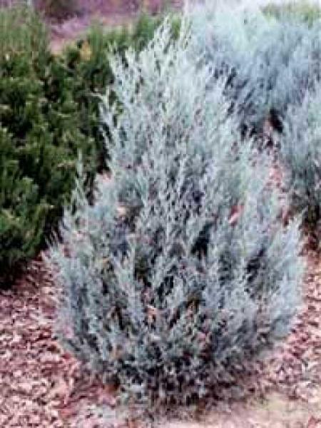 Juniperus scopulorum 'Wichita Blue' / Blauer Kegelwacholder / Rocky-Montain-Wacholder 'Wichita Blue'