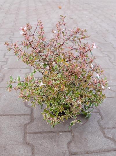 Abelia grandiflora 'Confetti' / Großblumige Abelie 'Confetti'