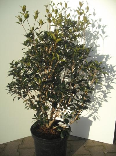Osmanthus heterophyllus / Ilexblättrige Duftblüte 80-100 cm 10-Liter Container