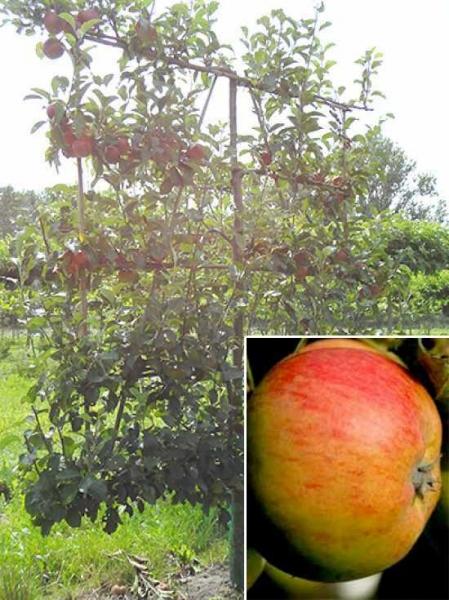Malus domestica 'Gravensteiner' / Apfel Gravensteiner 'Boden-Spalier' H:160 B:160 T:20 (Stamm 50 cm)