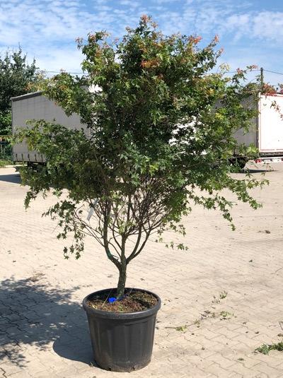 Acer palmatum 'Deshojo' / Japanischer Ahorn / Fächer-Ahorn 'Deshojo' 250-300 cm (546812)