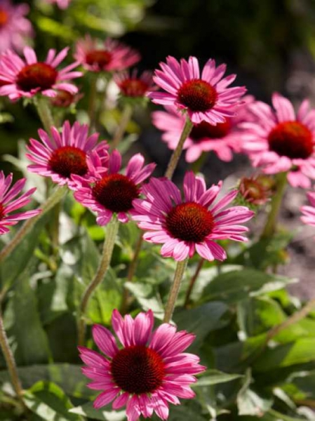 Echinacea purpurea 'Little Magnus ®' / Scheinsonnenhut
