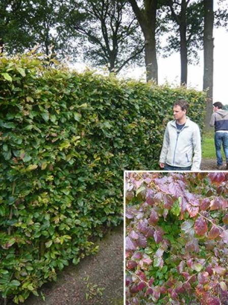 Parrotia persica 'Vanessa' / Eisenholzbaum 'Vanessa' / Fertighecke / Heckenelement 200 cm