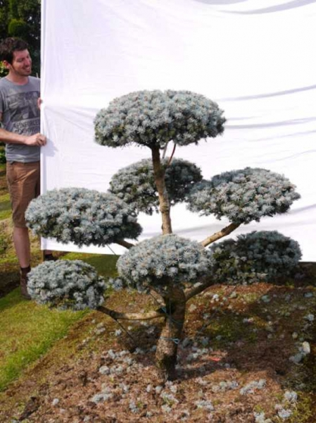 Picea pungens 'Glauca' H: 150 B: 150 cm / Garten-Bonsai (0006)