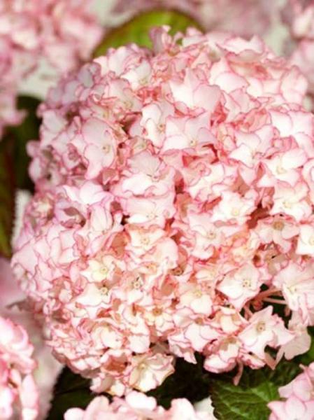 Hydrangea macrophylla 'Sabrina'® / Bauern-Hortensie 'Sabrina'®