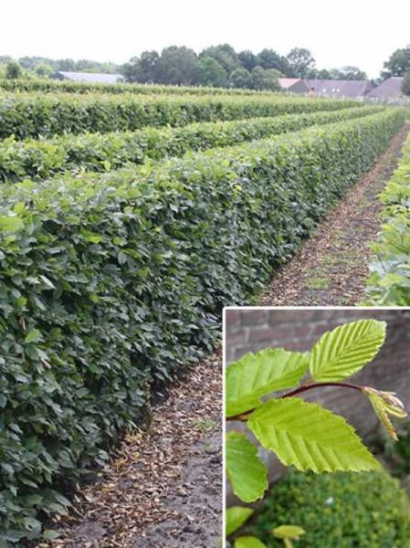Carpinus betulus / Hainbuche / Fertighecke / Heckenelement 120 cm