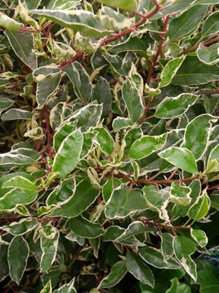 Prunus lusitanica 'Variegata' / Weißbunte Portugiesische Lorbeerkirsche