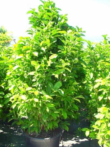 Magnolia liliiflora 'Nigra' / Purpur-Magnolie 'Nigra'