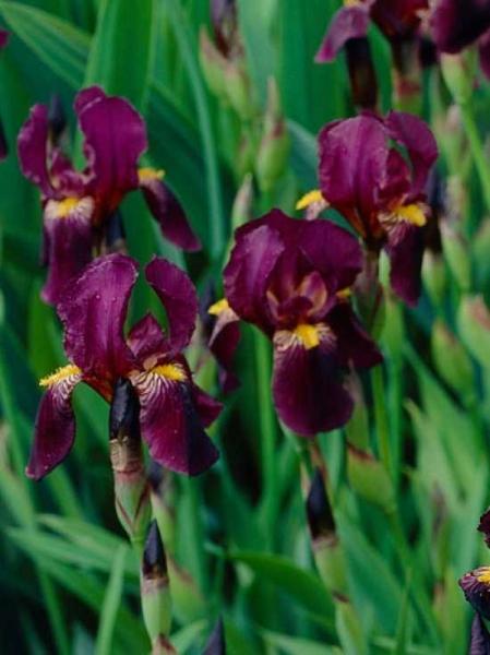 Iris barbata-elatior 'Red Orchid' / Hohe Bart-Schwertlilie