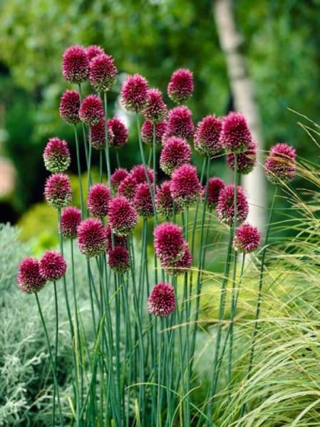 Allium sphaerocephalon / Kugel-Lauch