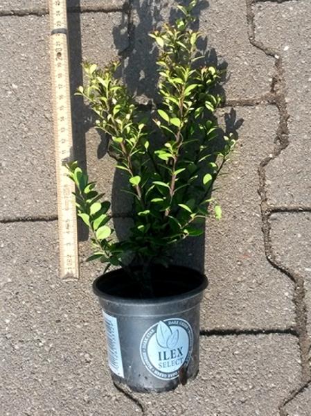 Ilex crenata 'Dark Green' / Buchsblättrige Japanische Hülse 'Dark Green' 10-15 cm im 0,5-Liter Container