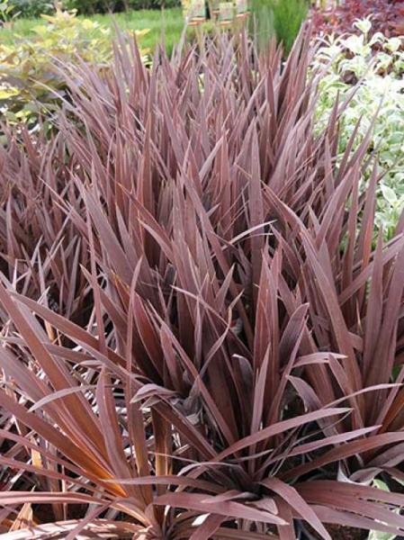 Cordyline australis 'Red Star' / Keulenlilie 'Red Star'