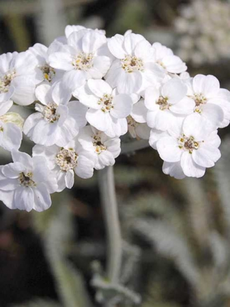 Achillea conjuncta / Schafgarbe