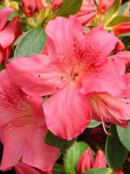 Rhododendron obtusum 'Gorbella' / Japanische Azalee 'Gorbella'