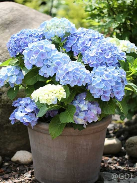 hydrangea macrophylla 39 endless summer 39 blau bauern. Black Bedroom Furniture Sets. Home Design Ideas