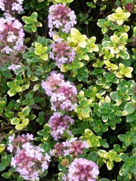 Thymus Comosus Doone Valley Garten Thymian Gunstig Kaufen