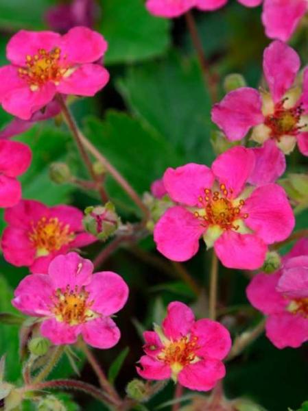 Fragaria x ananassa 'Lipstick' / Garten-Zier-Erdbeere