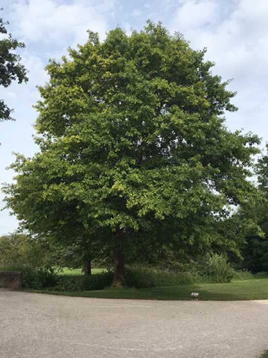 """Quercus palustris // Sumpfeiche /""""Spree Pflanze Eiche/"""""""