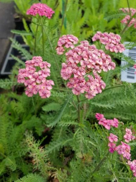 Achillea millefolium 'Colorado' / Garten-Schafgarbe 'Colorado'