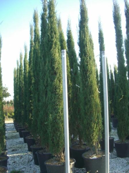 Cupressus sempervirens / Säulenzypresse 300-350 cm im 50-Liter Container