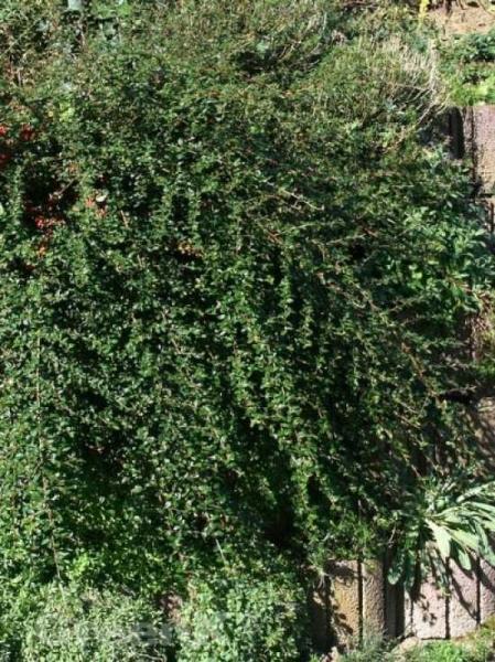 Cotoneaster dammeri 'Jürgl' / Teppichmispel 'Jürgl'