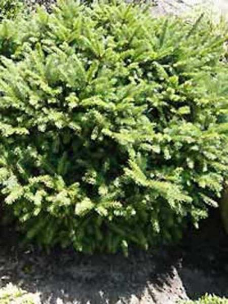 Picea abies 'Pumila' / Zwergfichte 'Pumila'