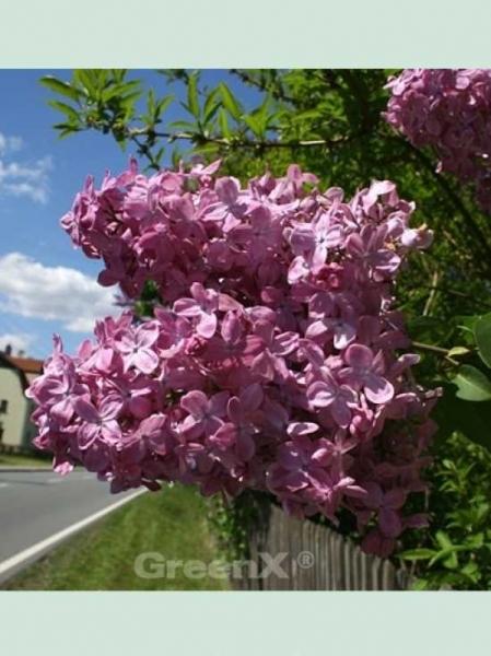 Syringa hyacinthiflora 'Esther Staley' / Flieder 'Esther Staley'