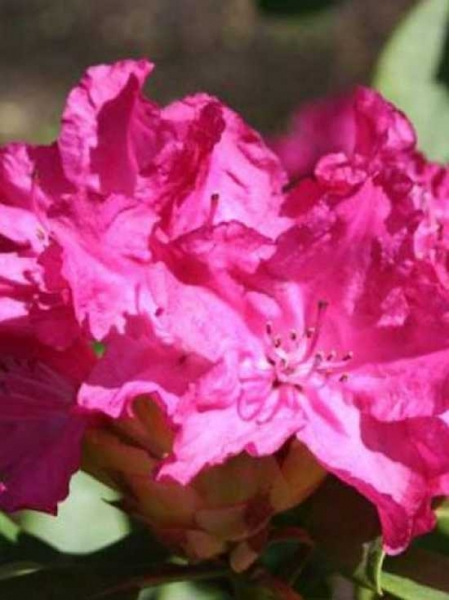 Rhododendron Hybride 'INKARHO Caractacus' / Rhododendron 'INKARHO Caractacus'